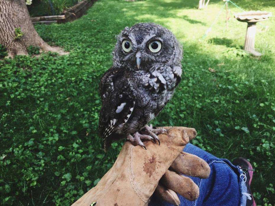 Sarah Screech Owl